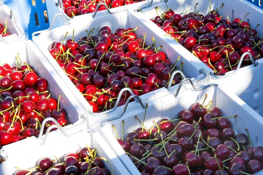 Producción de cerezas patagónicas
