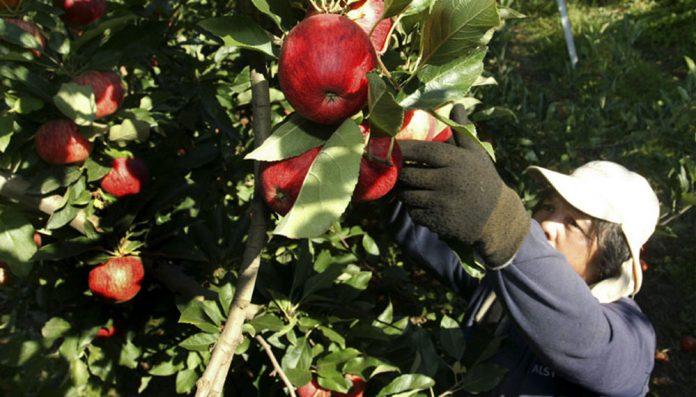 Un trabajador cosecha manzanas en una plantación. Fuente Infocampo